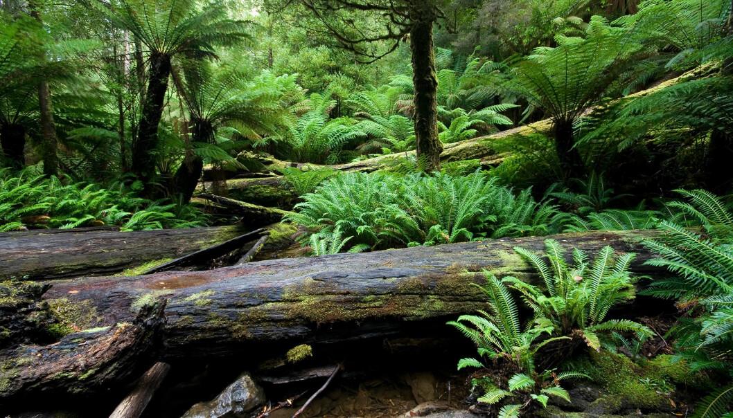 Bregner og trebregner. Omtrent slik kan sumpskogene i karbon-tiden ha sett ut. (Bilde: JJ Harrison)