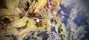 Ny, sviande sjøanemone funnen i Hordaland