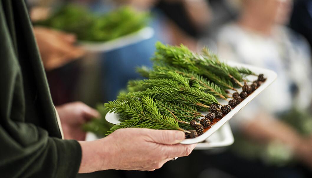 Granbarskudd er mest til pynt, mens minikongler behandlet i saltlake er en av de nye smakene som kanskje egentlig er gamle. (Foto: Benjamin Ward)