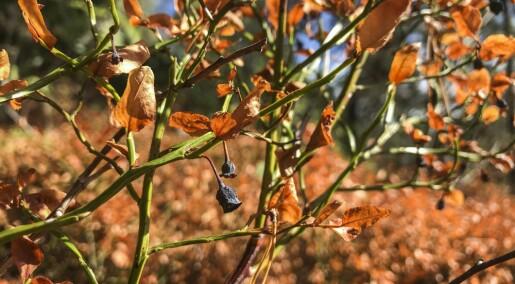 90 prosent færre blåbær enn for to år siden