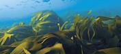 Forskarar bekymra for livet i havet langs sørlandskysten