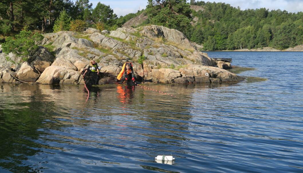 Her er Lene Christensen (til venstre) og Inger Aline Norberg Aanonsen i ferd med å hale inn en finmasket strandnot. Alt i nota blir målt og registrert. (Foto: Tore Johannessen / Havforskningsinstituttet)