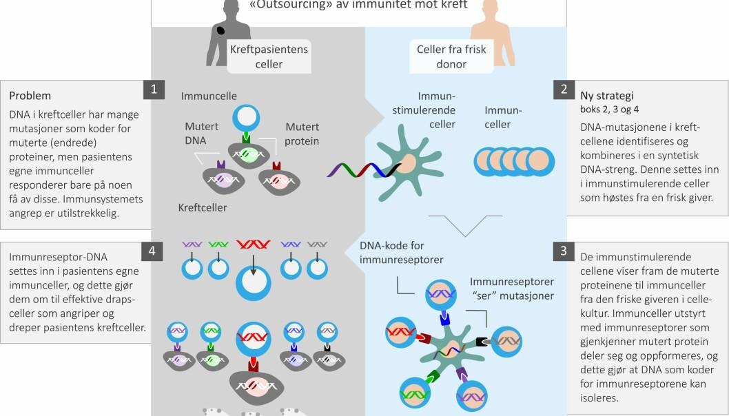 Illustrasjonen forklarer prosessen forskerne kaller å outsource kreftimmunitet. (Illustrasjon: Science Shaped)