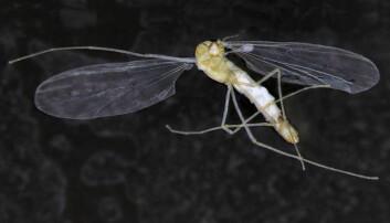 Mye tyder på at T. hajdi er det eneste kjente eksemplet på et flygende huleinsekt.  (Foto: Linn Katrine Hagenlund)