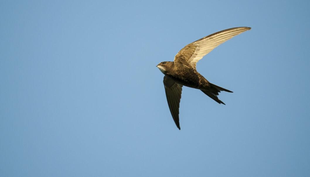 Tårnseilerne tilbringer mer tid på vingene enn noen andre fugler, kanskje med unntak av albatrosser og lirer.  (Foto: Roy Mangersnes/Samfoto)