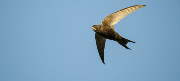 Denne trekkfuglen har satt ny fartsrekord