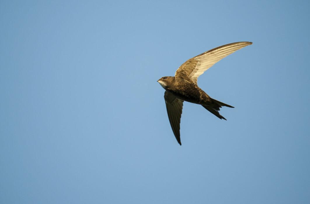 Tårnseilerne tilbringer mer tid på vingene enn noen andre fugler, kanskje med unntak av albatrosser og lirer.