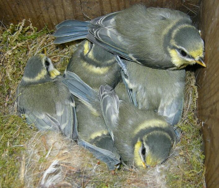 I ett blåmeisreir kan det være unger fra 3-4 ulike fedre. (Foto: Arnstein Rønning/Wikimedia commons.)