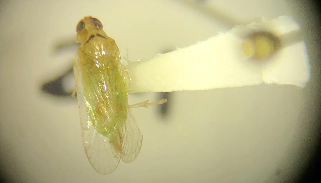 Dette lille insektet, på størrelse med et riskorn, antas å være ansvarlig for å overføre en dødelig bakteriesykdom til palmetrær. (Foto: AP / NTB scanpix)