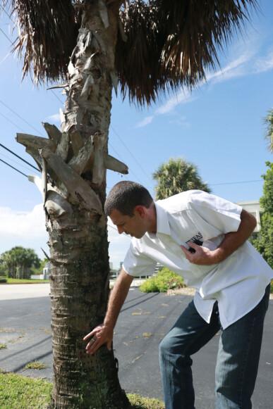 Insektforsker Brian Bahder viser fram en palme som er død av den smittsomme sykdommen. (Foto: AP / NTB scanpix)