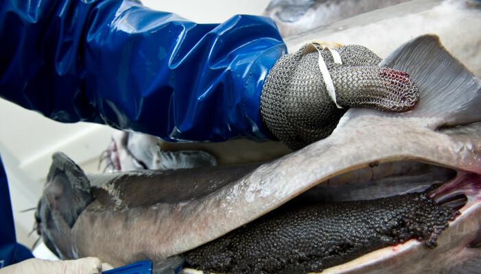 Her er rogna til støren før den gjøres om til den berømte russiske luksusmaten – sort kaviar. (Foto: Shutterstock)