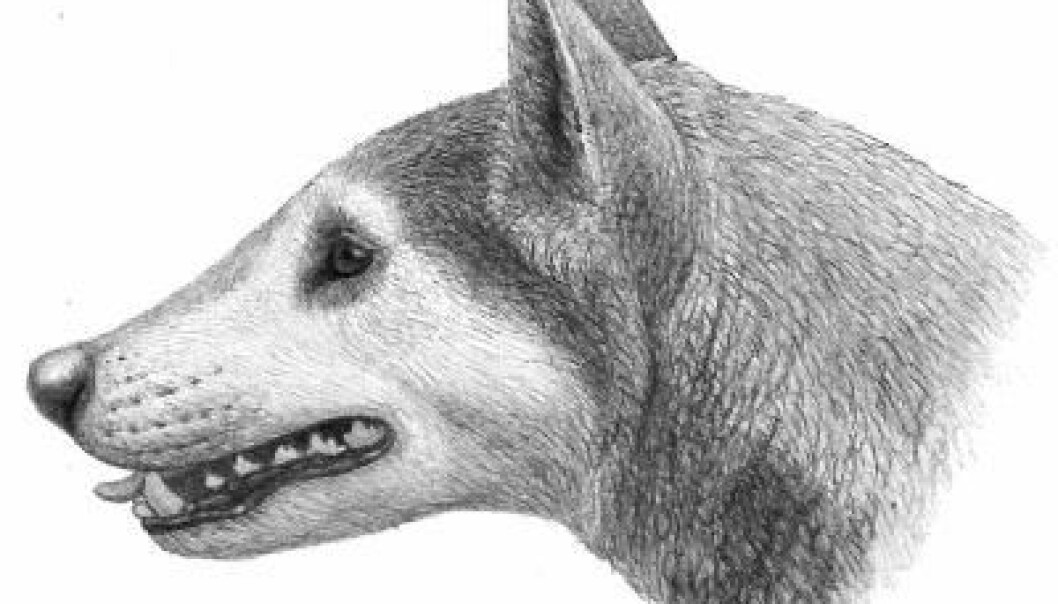"Illustrasjon av Cynarctus-hund, fra boka ""Dogs, Their Fossil Relatives and Evolutionary History."" (Illustrasjonen er igjenbrukt med tillatelse fra forlegger og illustratør Mauricio Antón)"