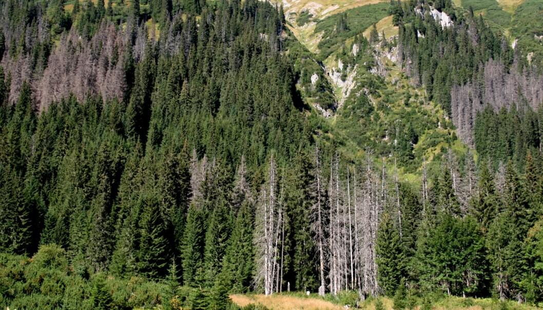 Utbrudd av granbarkbillen brer seg som flekker av drepte trær etter hvert som nye generasjoner av biller sprer seg og koloniserer nye trær. (Foto: Bjørn Økland)