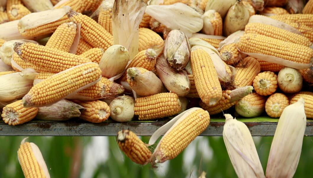 Vi bør diskutere kostnader og samfunnsnytte ved innføring av genmodifisert mais, ikke bare på om maisen er sunn eller ikke sunn, skriver kronikkforfatteren. (Foto: Scanpix)