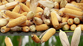 Kronikk: Ingen tvil om at genmodifiserte produkter blir dyrt