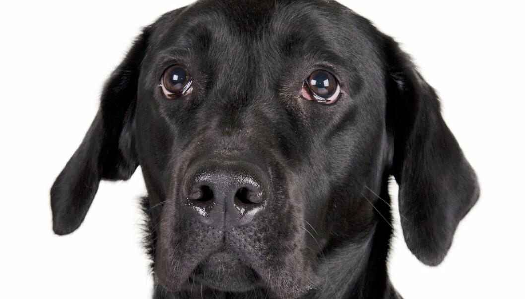 Labradorer ser ut til å være mer tilbøyelige til å tigge enn andre hunderaser og er generelt mer opptatt av alt som har med mat å gjøre, ifølge en ny studie. (Foto: Colourbox)