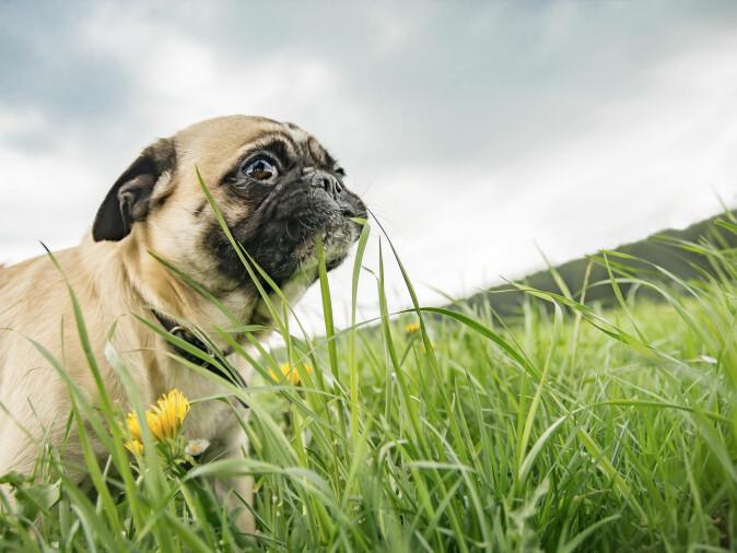 Husk at det ikke er farlig hvis hunden din spiser gress en gang imellom. Men spiser den mye og virker syk, bør du oppsøke dyrlege. (Foto: Tanja Esser / Shutterstock / NTB scanpix)