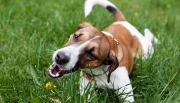 Hvorfor spiser hunder og katter gress?