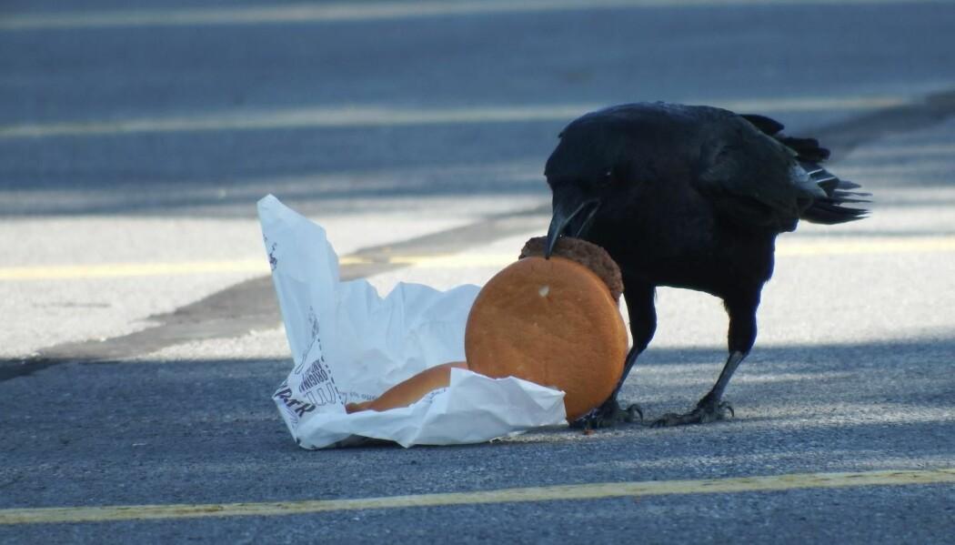 Mmmm! Burger! Bykråker spiser mer som mennesker - og har høyere kolesterol. (Foto: Andrea Townsend)