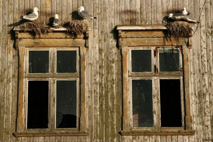 På øya Røst ytterst i Lofoten har antallet krykkjer i det store fuglefjellet på Vedøy gått dramatisk ned. I havneområdet på Røst, bare 4 kilometer unna, er det blitt mer fugl. Her hekker de mer beskyttet for ørn og andre predatorer og klarer å fostre opp noen unger hvert år. Likevel er bestanden svært liten sammenlignet med antallet krykkjer på Røst noen tiår tilbake. (Foto: Jan Gunnar Furly, Aftenposten/NTB scanpix)