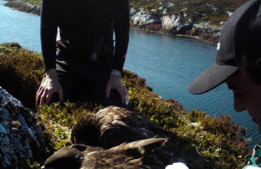 Norwegian sea eagles nest in Ireland
