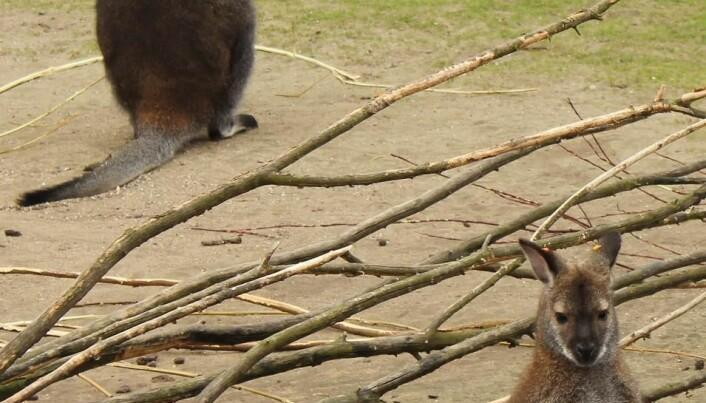 Disappointed scientists: damn, kangaroos fart methane