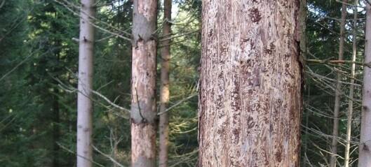 Dødelig partnerskap med sopp hjelper granbarkbillen å drepe trær
