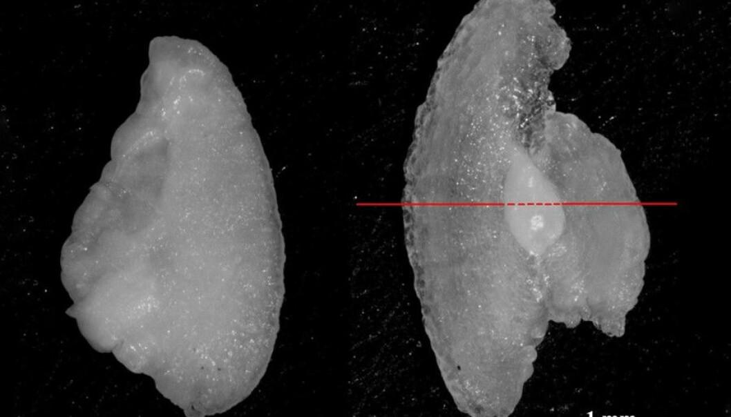 Venstre og høyre ørestein av en ung oppdrettslaks. Den venstre er normal, og den til høyre er deformert. Den deformerte øresteinen er større, tynnere og skjørere. (Foto Tormey Reimer)