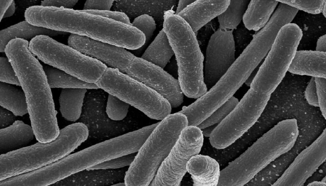 E.coli er en av bakterietypene som ofte finnes i tarmen. De fleste variantene er ufarlige.  (Foto: Rocky Mountain Laboratories, NIAID, NIH)