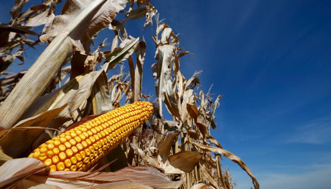 Når genmodifisert mais blir godkjent i Norge, er det blant annet på grunnlag av grundige risikovurderinger som viser at den ikke gir miljø- eller helseskade, skriver kronikkforfatterne.  (Foto: NTB Scanpix)