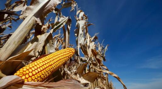 Debattinnlegg: Unøyaktig om genmodifisert mais