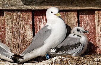 The last place you'd expect a kittiwake to want to live