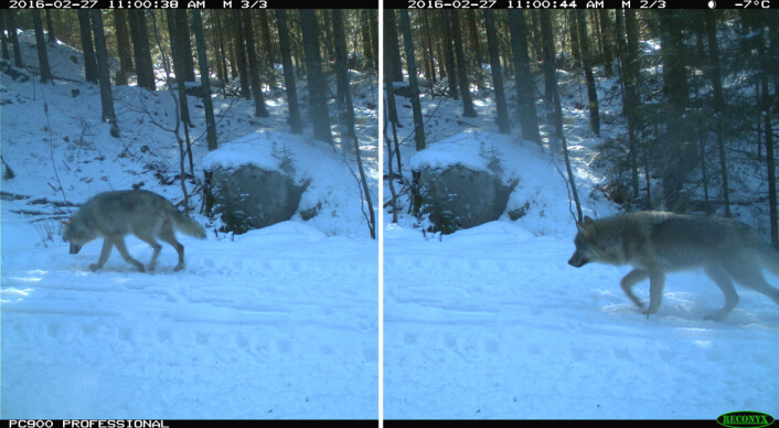 De to ulvevalpene i Østmarka passerte et viltkamera i området med kort tids mellomrom 27. februar i år. (Foto: (Fotomontasje: viltkamera.nina.no))