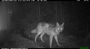 Nye bilder av ulvevalper i Østmarka