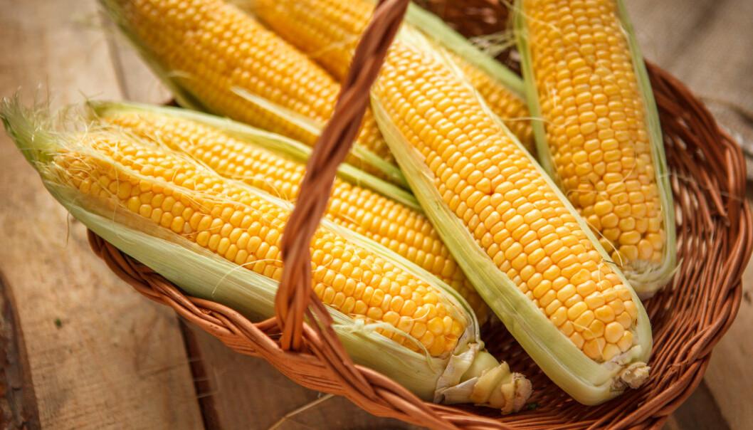 Den genmodifiserte maisen kan ikke sies å ha egenskaper som gjør den bedre for norske forbrukere, mener Miljødirektoratet. De har likevel gått inn for å innføre den. (Foto: Studio 52, Shutterstock, NTB Scanpix)