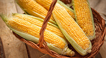 Kronikk: Hvem skal betale prisen for genmodifisert mais i Norge?