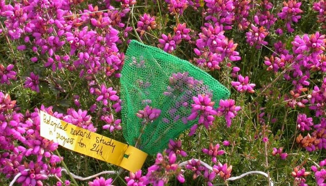 Lyngplanter er rike på nektar og difor populære blant insekta. Klokkelyng - Erica tetralix - er vanleg i lyngheiar langs atlanterhavskysten. Den grøne posen hindrar insekt i å suge nektar frå plantekjertlane i 24 timar. Metoden sikrar at nektarmålinga blir nøyaktig.  (Foto: Mathilde Baude)