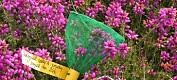 Færre blomstrar til biene
