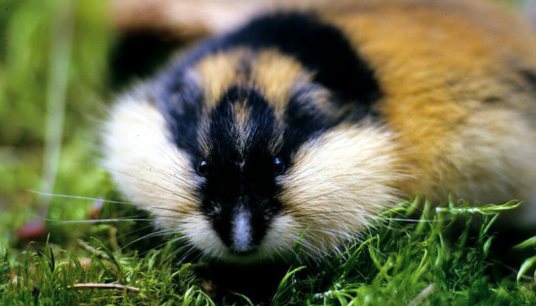 The lemming has a potentially high rate of reproduction; the animals can become sexually mature at only three weeks old, and a female can have three to five litters during the course of a summer. (Photo: Fram Centre).