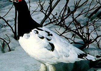 Less thicket and more crows are not good for ptarmigan