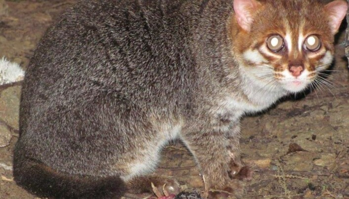 Rare flat-headed cat caught on video