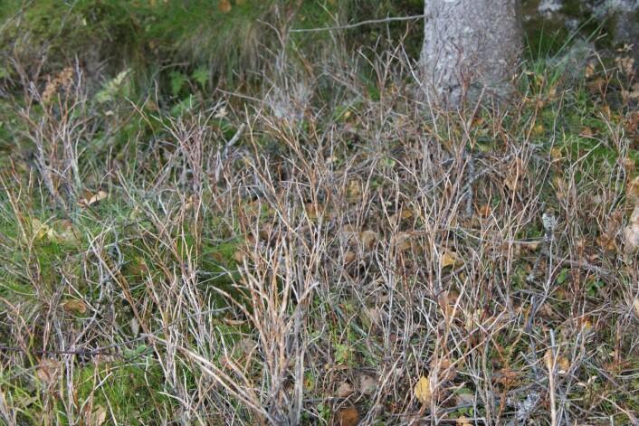 Blåbærlyng i Lofoten helt død etter kraftig bjørkemålerutbrudd. Noen få nye skudd dannes fra rota. (Foto: Jarle W. Bjerke)