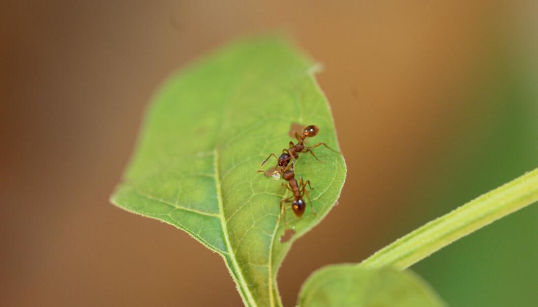 Maur forsyner seg av søt saft fra sår i bladene til slyngsøtvier.  (Foto: Tobias Lortzing)