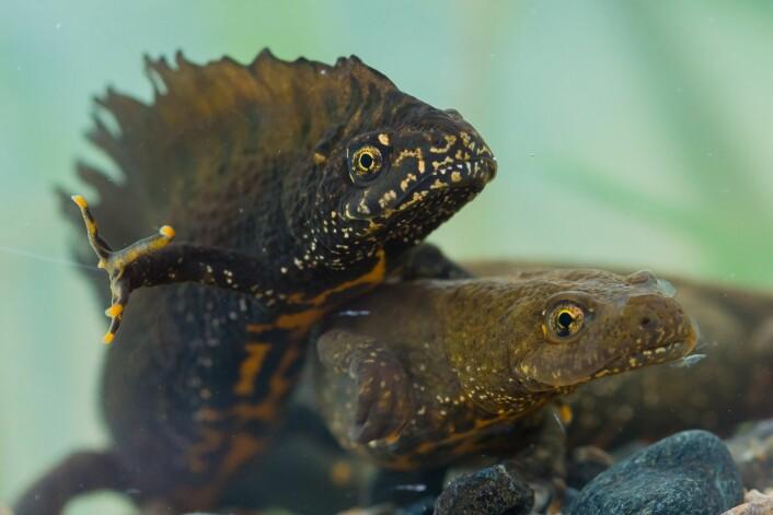 Storsalamanderen trenger vann for å yngle og egnede landområder til sommerbeite og overvintring. (Foto: Børre K. Dervo, NINA)