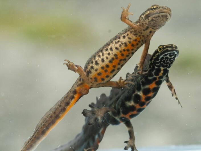 Salamandere er amfibier. I Norge finnes artene storsalamander og småsalamander rundt Oslo, Bergen og Trondheimsfjorden. (Foto: Børre K. Dervo, NINA)