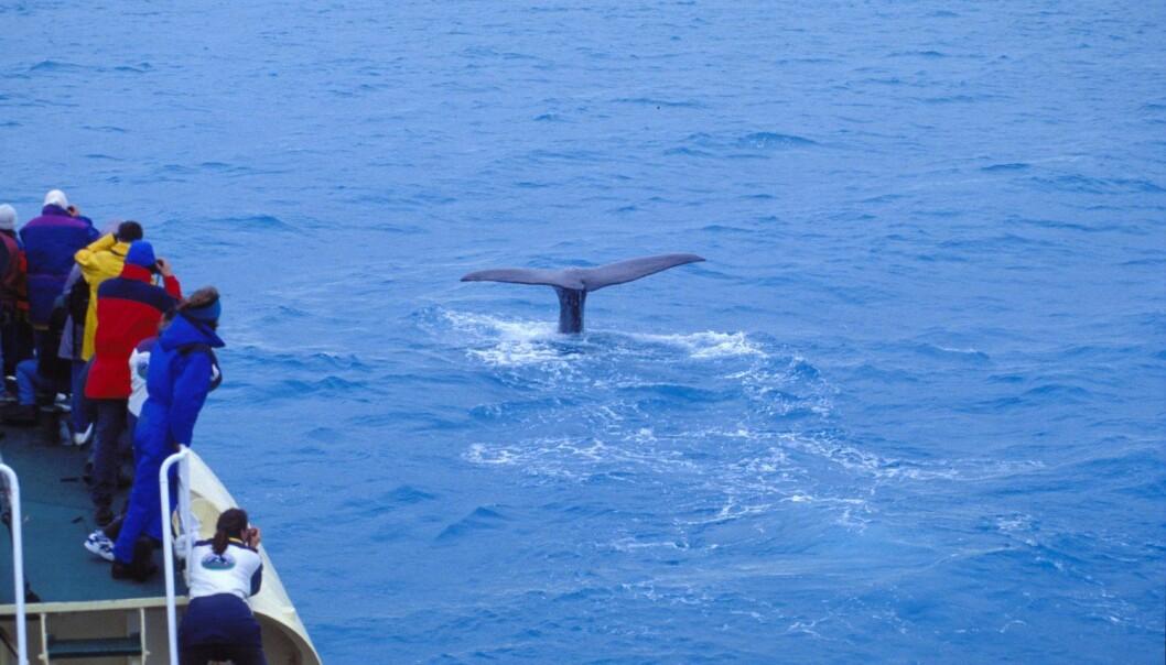 Hvalsafari utenfor Andenes har blitt et yndet turistmål. Men den økende hvalturismen skaper også utfordringer.   (Foto: Trym Ivar Bergsmo, Samfoto, NTB scanpix)