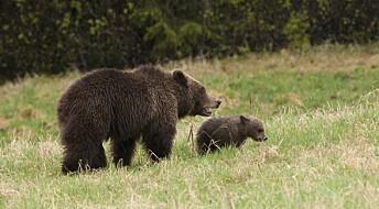Stadig færre bjørner i Norge