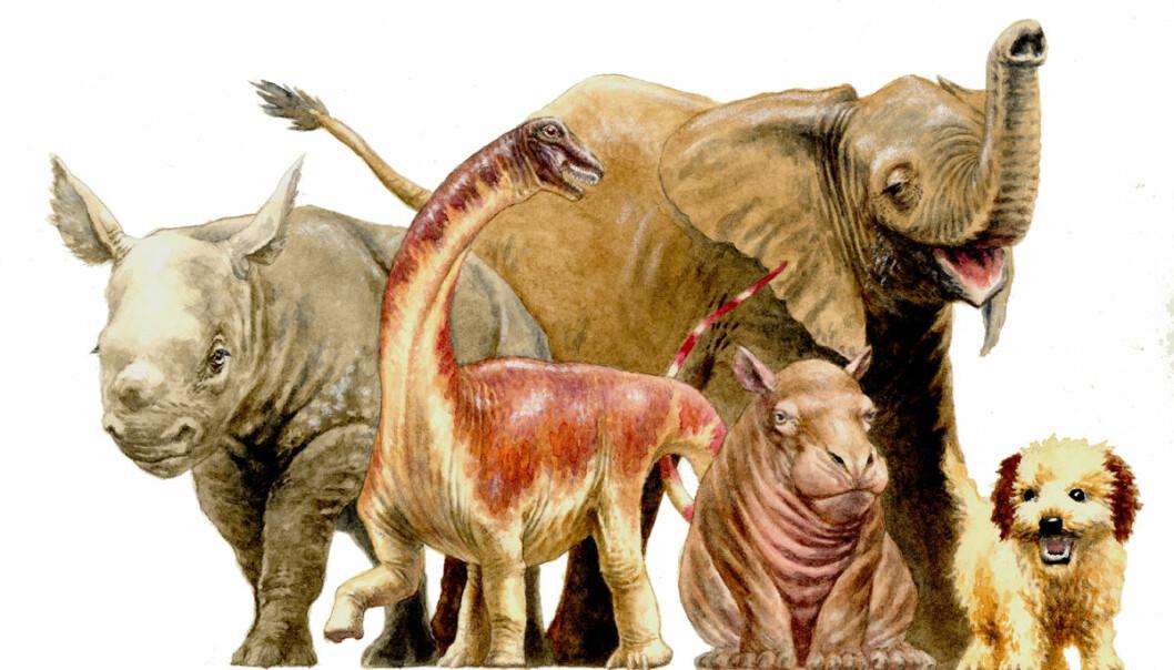 Baby-rapetosaurus var omtrent like stor som tilsvarende unger av dagens store dyr. Men den ble mye større som voksen. Og den hadde voksne proporsjoner helt fra den kom ut av egget, ifølge ny forskning.  (Illustrasjon: D. Vital)