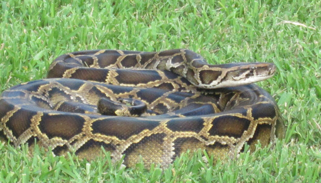 Alien Nightmare: The non-native Burmese python, which has drastically reduced mammal populations in the Florida Everglades, is a good example of the damage that invasive species can cause. (Photo: Nancy Bazilchuk)