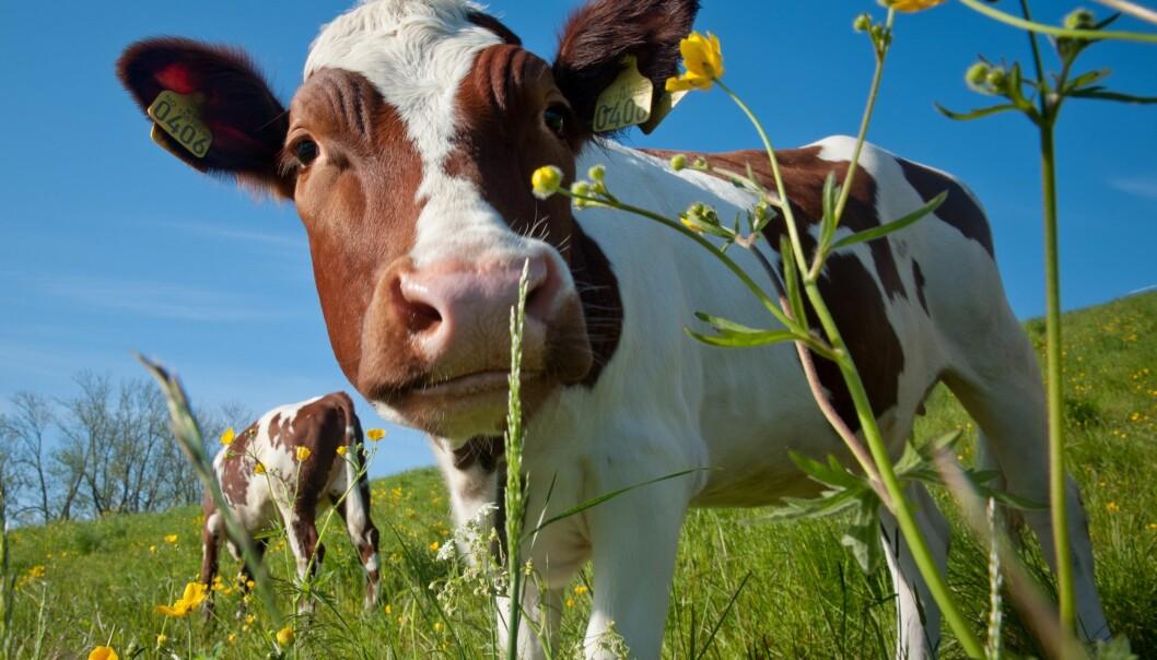 Det er et mål om å øke nasjonal matproduksjon i Norge. Men er vi i stand til å nå målet? (Foto: Heine Schjølberg)